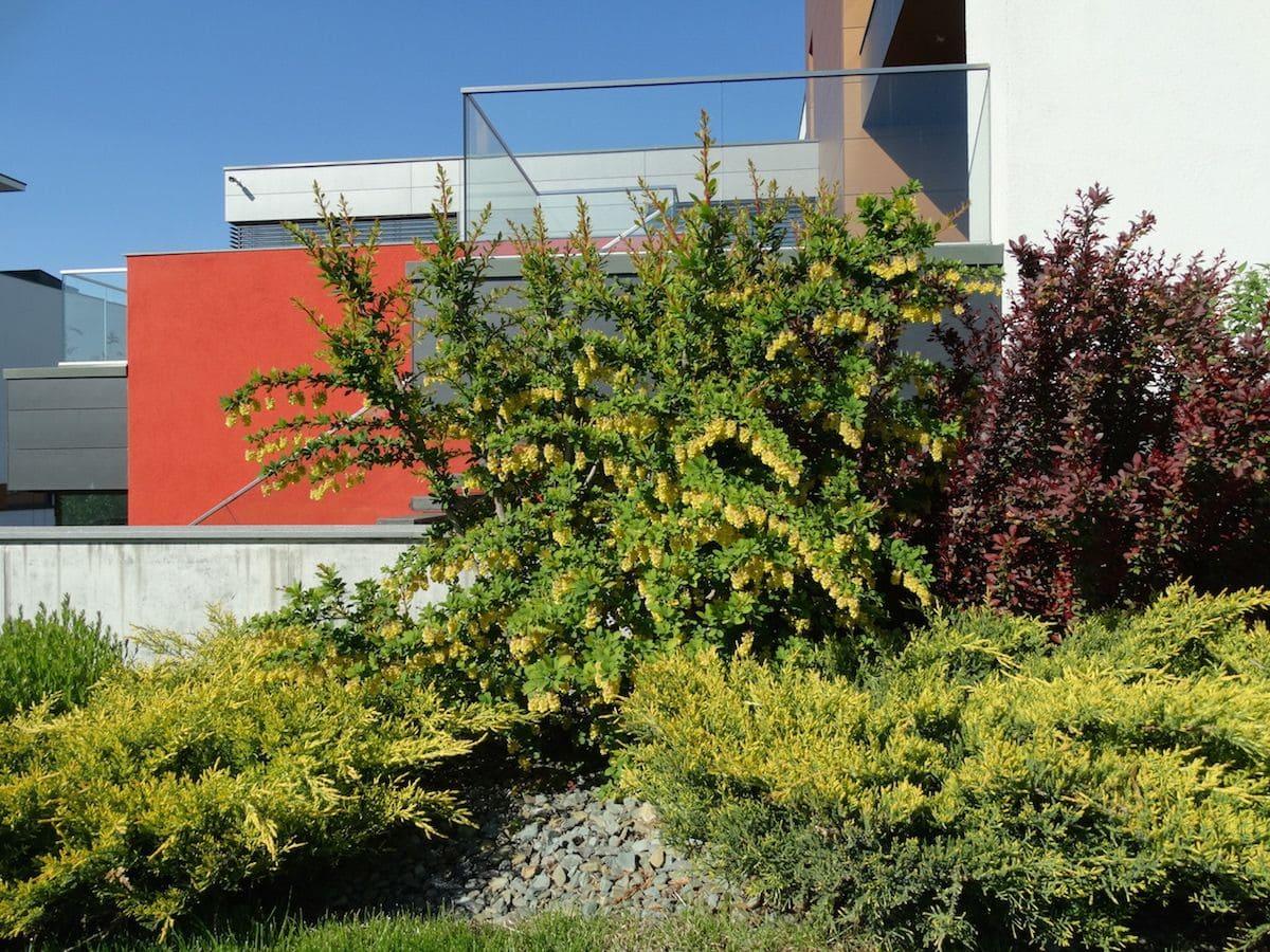 Pin, ienuperi, berberis galben si alti arbusti langa lacul artificial