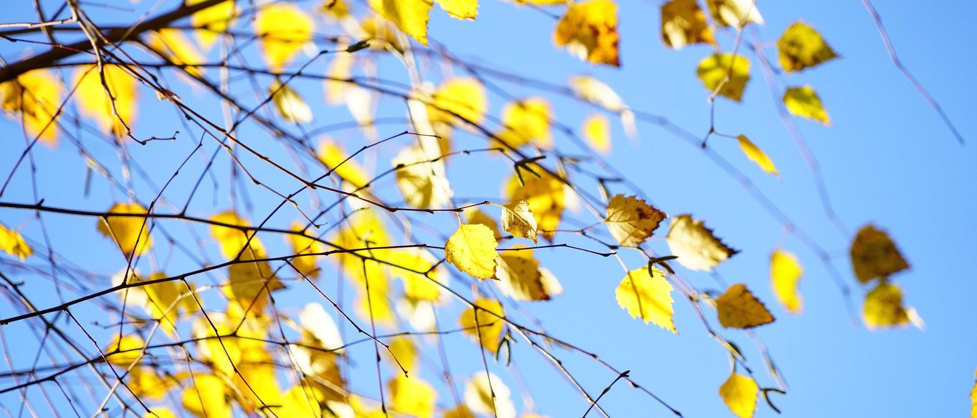 Frunze de mesteceni